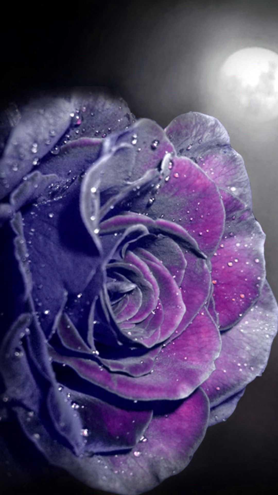 Rose Wallpaper Ixpap