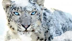 Desktop Snow Leopard Wallpaper