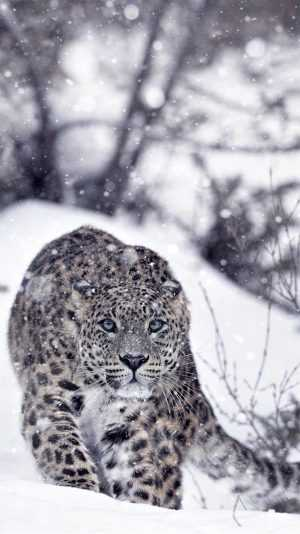 4K Snow Leopard Wallpaper