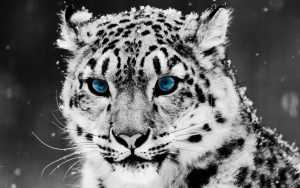 Snow Leopard Wallpaper Desktop