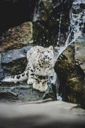 HD Snow Leopard Wallpaper